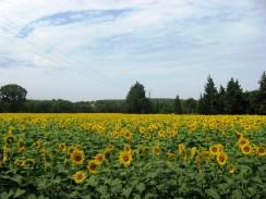 Avignon-Orange - field of sunflowers