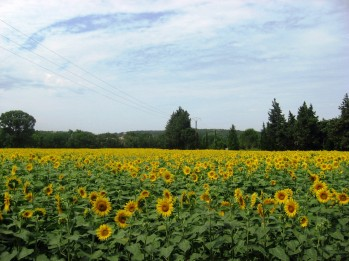 Avignon-Orange - field of sunflowers