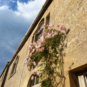Beautiful pink climbing roses