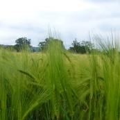 Verdant wheat field