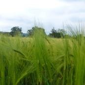 Verdant wheat field