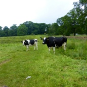 In a paddock with cows on the return journey