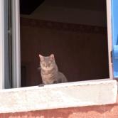 A Callas pussy cat