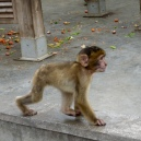 Cute baby ape