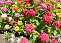 Zinnias in the sun
