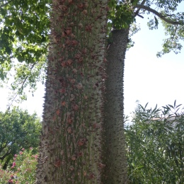 The very thorny tree trunk