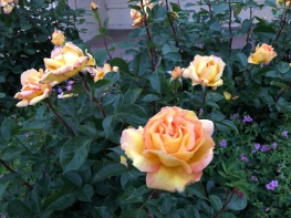 Beautiful roses in the Park
